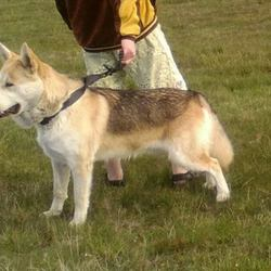 Lost dog on 22 Oct 2015 in Carlow/Tullow/Ballon. Malamute German Shepard Mix, 1 year old male unneutered.