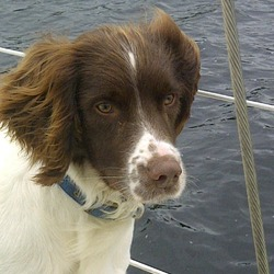 Lost dog on 22 Sep 2012 in South Circular Rd Limerick. 1 year old English Springer