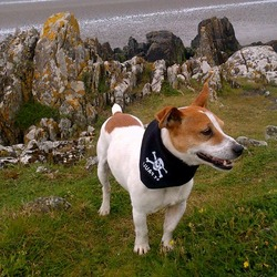 Lost dog on 22 Sep 2012 in Sth Circular Rd, Limerick. 4 year old male jackrussel