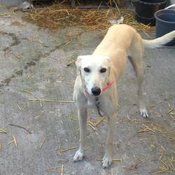 Lost dog on 22 Sep 2017 in ratfarm dublin 16. stolen...4 year old lurcher her name is Bella got robbed from my kennels ratfarm dublin 16 area on 20th of September contact me on 0863285333 or 0830331047 thank you