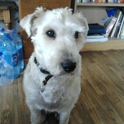 Lost dog on 23 Apr 2013 in Straffan, Co. Kildare. Soft Coated Wheaten Terrier called Missy,aged 4, Lost in Straffan, Co. Kildare. Microchipped, missing collar.