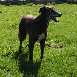 Lost dog on 23 Feb 2017 in Carlow. George is a Saluki hound x. He is an older dog 10+ years old and is a loved family pet. He is not neutered. He has a heart murmur and I just really want to get him home.