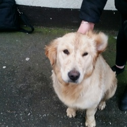 Lost dog on 23 Feb 2017 in Portmarnock, Co. Dublin. Labrador lost in Portmarnock. He was at the bus stop at the top of Redfern Avenue (near traffic lights at Carrickhill Road).  No identification. (red collar).  He was a friendly dog an obviously looking for his owner.