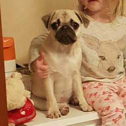 Lost dog on 23 Jan 2018 in Parklands, Northwood, Santry, Dublin 9. 6 month old, male Pug puppy. Lost since 23rd January. Last seen in Parklnds, Northwood, Santry, Dublin 9. Light/Fawn color with Black Face/Mask. Very friendly. No collar. He is microchipped.