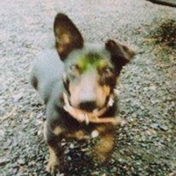 Lost dog on 23 Jul 2015 in Santry. Our dog daisy is STILL missing since dec 2013. Last seen in santry. She is friendly but shy. Black and brown with a white patch on chest spayed and her her flops down. Her tail Is real long. Please please keep an eye out please