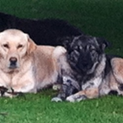 Lost dog on 04 Jun 2014 in Enniskerry / Bray Co. wicklow. These dogs are still missing, please contact us if there is any sign of them.