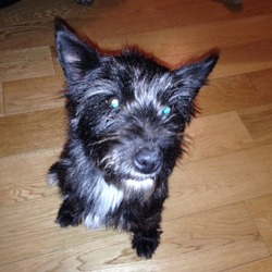Lost dog on 23 Nov 2013 in Newbridge, Co Kildare. Small Female terrier cross found in Walshestown, near The Curragh. Very friendly dog. Mostly black in colour with A white chest. Has been well looked after and someone must be missing her. Not microchipped.