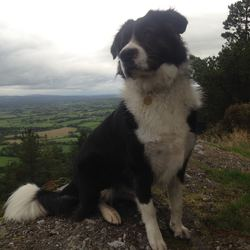 Lost dog on 23 Oct 2016 in Bansha, Co. Tipperary South. Female Karakachan (like a stocky Border Collie!). 3 year old. spayed female. Missing believed stolen from Cordangan, between Bansha and Tipperary Town. Microchipped and wearing reflective collar and name tag. 08385 88283. All help/shares/cross posts welcome! Many thanks
