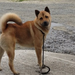 Lost dog on 24 Apr 2013 in Omeath co Louth . Big brown Akita friendly, whet missing from village of omeath 24th of the 4th reward waiting 