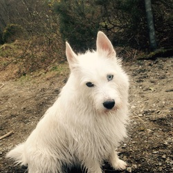 Lost dog on 24 Apr 2015 in Sandyford. She is a half husky and half westie. She's 5 and has one blue eye and one brown eye. Went missing April 24th in Sandyford anf we would love her back. contact number is 0851654332