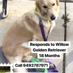 Lost dog on 24 Apr 2018 in Irvine, California, USA. Her name is willow. She's an 18 month golden retriever. She is not wearing a collar, but is microchipped. She's my service dog and is very sweet/well trained, but gets a little scared when I'm not around (but not aggressive or anything at all). She was last seen at Owen and California streets in University Hills, Irvine. She often comes with me to the UCI campus (especially the big grassy park near engineering), as well, so if you wouldn't mind keeping your eyes open or posting some flyers around there I'd be so thankful (@idleidealsartwork on instagram has a flyer in the bio). I'm offering $5000 as a reward. Please help me find her! If you even see a dog that looks remotely like her, please call 9493787971. Thank you so much!