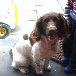 Lost dog on 24 Dec 2012 in Cahir Co. Tipp. 3 yr old springer spaniel female white and brown answers to ROLO lost christmas eve on the Galtee mountains near Kilcoran Cahir.