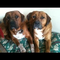 Lost dog on 24 Dec 2012 in River forest, Leixlip, Co. Kildare. MISSING On right in picture. Boxer/collie. Brown with white chest. Wearing black collar with gold studs. Microchipped.