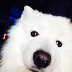 Lost dog on 24 Dec 2013 in Finglas. Samoyed husky goes by the name kento missing in the finglas area reward if found