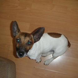 Lost dog on 24 Feb 2015 in Limerick raheen industrial estate. Male minature jack russell missing from raheen industrial estate Limerick, he has an entirely dark brown face and big ears, Reward will be given on his safe return.