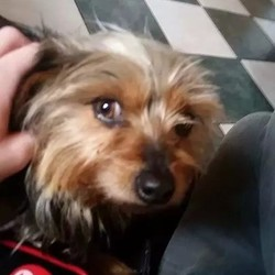 Lost dog on 24 Feb 2015 in Meath. Jess Female missing or stolen as she never leaves the house yorkie x.. age 3 brown and black