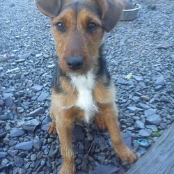 Lost dog on 24 Jan 2013 in Lucan. Trixie is black with tan colourings and has a white marking on her chest. She is almost a year old. terrier mix dog - spayed, no chip. She jumped on our 6.5 foot shed out the back and escaped from our neighbours garden in lucan on thursday. If you have any info please contact 0858275765