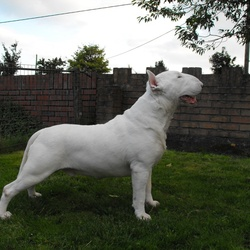 Lost dog on 24 Jan 2013 in Mount Nugent, Cavan. English Bull Terrier. 20 mths old. white with a black ear.
