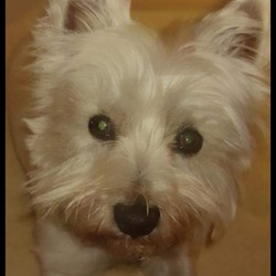 Found dog on 24 Jan 2015 in Cooock. Out dog Duncan is missing since around 2ish today around the Clonshaugh/Coolock/Darn dale area. Any help  please in finding him would be apreciated. He has a red collar on him and is a bit blind. Please contact Stephen on 0861731193. Please and thank you in advance   Duncan was found and a bug thank you to the kind couple who found him and handed him into Raheny Vets  Thank you