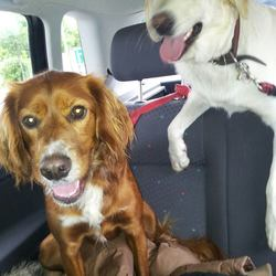 Lost dog on 24 Jul 2014 in Rathmines. Half red setter, half springer spaniel. Dash of white towards the tip of his nose and his front/chest. Name is Trap, is very lively and friendly. Medium to small height.