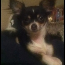 Lost dog on 24 Jul 2014 in walkinstown dublin. Please help us find our little dog.went missing this evening  24 july at 9pm in walkinstown Dublin. He is wearing a collar and welill be very frightened. Please help us we are devastated. Thanks Liz