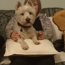 Lost dog on 24 Jun 2013 in Borris Co. Carlow. White male westhighland terrier missing since monday 24th June, in Borris/Goresbridge area co. Carlow. he is clipped, neutered, microchipped and wearing a black nylon collar with his i.d. and contact number tags. he has a distinctive left ear which had the tip bitten off by another dog! he is deaf in the left ear and has balance problems. he needs to be looked after :-( please contact me on 0872266321 if you have any info. reward offered for info leading to safe return of my beloved pet