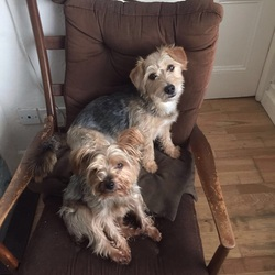 Lost dog on 24 Mar 2017 in Aughrim, Co Wicklow. Two male terriers. One Yorkshire Terrier and one Yorkie Cross went missing from Aughrim Co Wicklow on the 23rd of March.