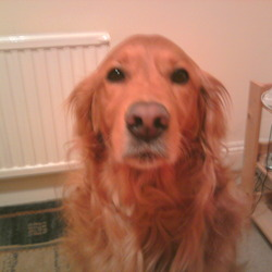 Lost dog on 24 May 2012 in galway ballybane. Golden retriever bitch