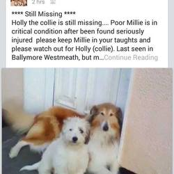 Lost dog on 24 Nov 2014 in ballymore. lost collie, contact mullingar dog shelter