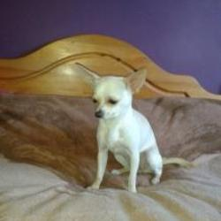 Lost dog on 24 Nov 2014 in bray. lost Dog missing from Bray area!!! Cream&white female chihuahua, 8 months old, not neutered. Keep your eyes peeled and contact me on 0857692584