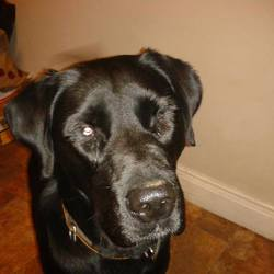 Lost dog on 24 Nov 2014 in lab. lost trim,ref to last hope charity MISSING: TRIM