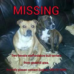 Lost dog on 24 Nov 2014 in offally. lost 2 staff dogs