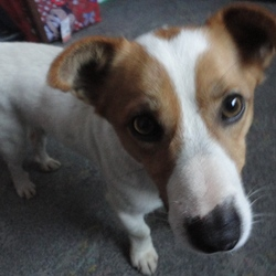 Lost dog on 24 Nov 2014 in Rathdowney Laois. White fox terrier with brown on his face.