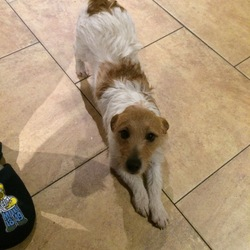 Found dog on 24 Nov 2016 in Neilstown/collinstown. Hi all hope people can help find our dog messy. He got out from the side of our house today 24/11/16, messy is a little mixed terrier he is brown and white in colour and very friendly. He is from the neilstown/ collinstown area. Please help find him, thanks all and please share.