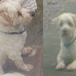 Lost dog on 24 Oct 2015 in Killaloe. White male terrier/bichon mix went missing today in Killaloe. He has a navy neckerchief collar on and has some beige spots (although he most likely needs a wash now so they may be hard to see)