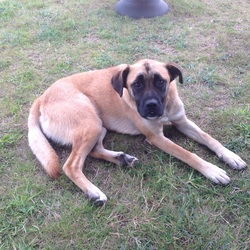 Lost dog on 24 Oct 2015 in Prosperous, Kildare. Boxer cross. Black face, Tan body. 2yrs old. Very friendly. Lost near Prosperous, Kildare on 24th Oct. Chipped and tagged