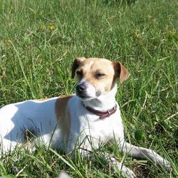 Lost dog on 24 Sep 2012 in Drum, Athlone.. Jack Russell Breed, female. Lost on the 24th of September in Drum, Athlone. Wearing a dark pink collar. Answers to WILMA.