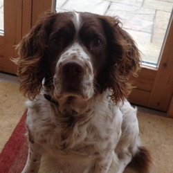 Lost dog on 25 Apr 2013 in Dundrum/ Sandyford. 8 year old Springer Spaniel Lost in Dundrum/Sandyford area. Male. please let me know if you know anything or have seen him.