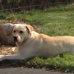 Lost dog on 25 Apr 2015 in Laois. 5 year old golden Labrador dog stolen Saturday 25/4/15. Family pet. Wearing black collar