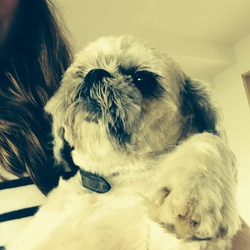 Lost dog on 25 Apr 2016 in Manor Kilbride, Blessington. 7 year old shih Tzu went missing in Wicklow in the area between Manor Kilbride and Sally Gap.