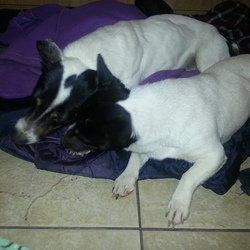 Lost dog on 25 Aug 2015 in Avoca Wicklow. Hi, would you be able to share this or keep an eye out for me please? My two Jack Russells went missing last Tuesday in the Avoca/Woodenbridge area of Wicklow. I'm terrified that they are lost and afraid or that somebody has picked them up and is mistreating them. They are 5 year old sisters, family pets, Lulu & Penny - Penny is the smaller black faced dog. They will be nervous of strangers and I just really want them home safe. Proof of ownership can be provided  Reward offered. Call or text 0831854229