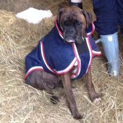 Lost dog on 25 Dec 2013 in Enniskerry, Co. Wicklow. Brindle male boxer lost on 25 December (he was frightened by fireworks so may be agitated). He was wearing a blue coat.