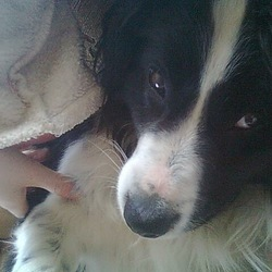 Lost dog on 25 Dec 2015 in Clonmany Co.Donegal. Lost dog he a nine yr old collie cross he is very friendly his name is Dexter
