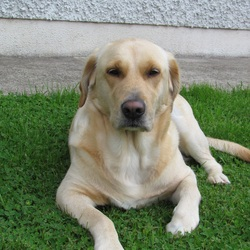 Lost dog on 25 Feb 2012 in Kilkenny. We lost dog , labrador , name is ashli beside the croand cottages dunamagan , outside kilkenny city , if somebody know please contact us