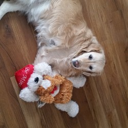 Lost dog on 25 Feb 2018 in Walkinstown. Golden Retriever