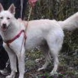 Lost dog on 25 Jan 2015 in Lidl Gort Road, Ennis, Co. Clare. A much beloved dog has gone missing from the Lidl on Gort road Ennis at 7.30pm Saturday 24th Jan. The owner was in the shop for less than 5 minutes but the dog was gone on his return. He is a White German Shepherd but looks similar to a Husky. If anybody has any information it would be fantastic- you can contact me 086 6049424 or ring the Ennis Garda� on 065 684 8100. A reward is offered for his safe return. Thank you so much.