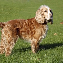 Lost dog on 25 Jan 2017 in St. Margarets . Sam, Golden Cocker Spaniel. Lost in the St. Margarets area on 25th Jan. Red collar,no tag. Please call 0872380862 if seen.