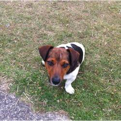 Lost dog on 25 Jul 2015 in The Curragh Kildare. Jack Russell Male - 2 Years old - Not Neutered or Chipped. Missing from Ballysax/Curragh Area. Goes by the name Joe, Very friendly and small - easy to  mistake for a puppy. He never wanders off so we think he may have been stolen.