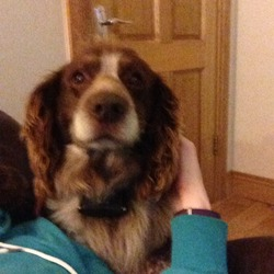 Lost dog on 25 Jun 2017 in Carlow . Rocky is missing from the Milford area of County Carlow.  He is a 9 year old Springer Spaniel cross.  He is wearing a red collar and a black leather collar. He is chopped but the contact details aren't up to date. Please me at 0863616004 with any information.