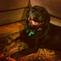 Lost dog on 25 Mar 2013 in balinascorney dublin 24. Female rottwieler. no collar. neutred and micro-chipped. answers to the name of layla. very sweet and shy temperment